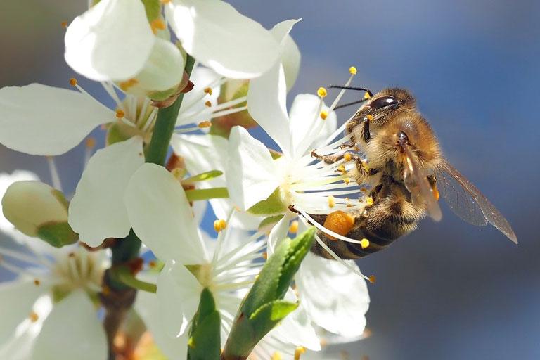 honigbiene auf kirschblueten, foto: kie-ker auf pixabay